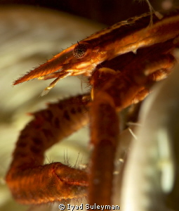 Crinoid squat lobster in details